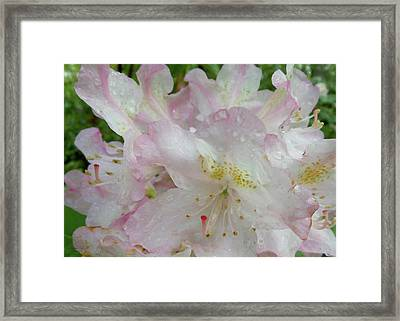 Raindrops On Rhododendron Framed Print