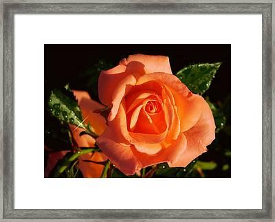 Raindrops On Roses Framed Print by Karen Cook