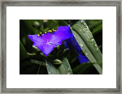 Raindrops On Spiderwort Flowers Framed Print