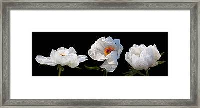 Raindrops On White Peonies Panoramic Framed Print by Gill Billington