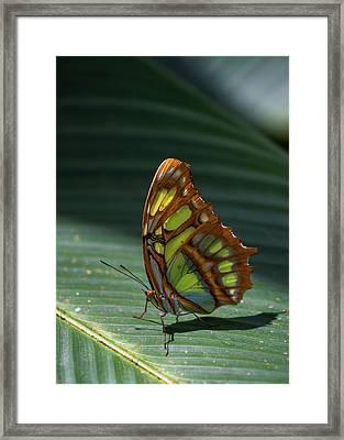 Rainforest Butterfly Framed Print