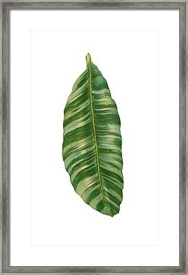 Rainforest Resort - Tropical Banana Leaf  Framed Print by Audrey Jeanne Roberts