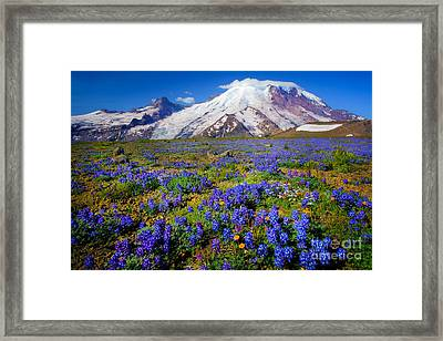 Rainier Lupines Framed Print by Inge Johnsson