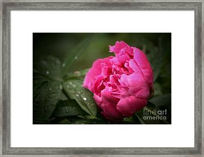 Rainsoaked Peony Framed Print by Marjorie Imbeau