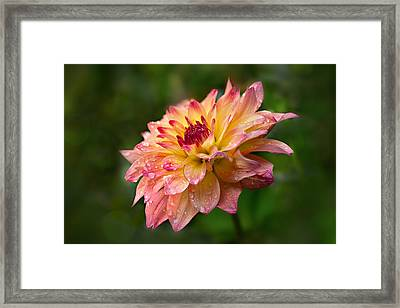 Rainy Dahlia Framed Print by Mary Jo Allen