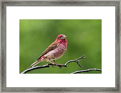 Rainy Day Bird - Purple Finch Framed Print by Christina Rollo