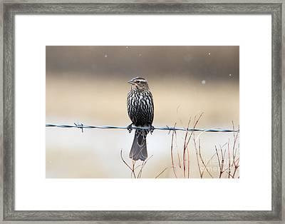 Rainy Day Blackbird Framed Print by Mike Dawson