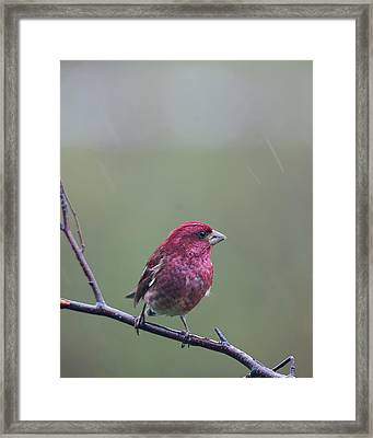 Rainy Day Finch Framed Print