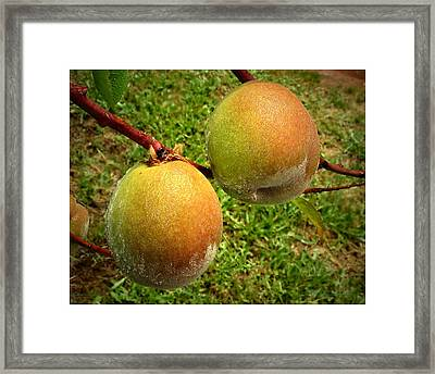 Rainy Day Peaches Framed Print by Joyce Dickens