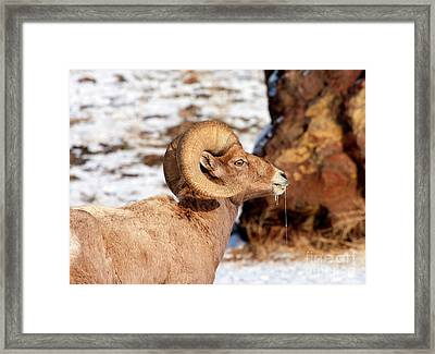 Ram Drool Framed Print