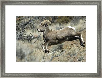 Ram In A Hurry Framed Print