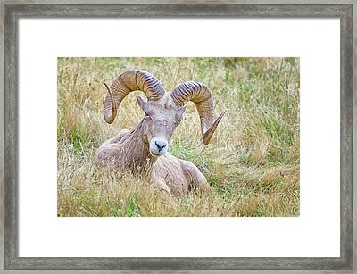Ram In Field Framed Print