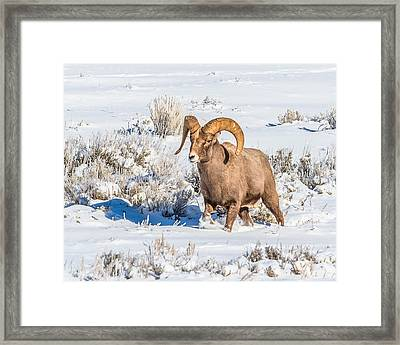 Framed Print featuring the photograph Ram In Rut by Yeates Photography