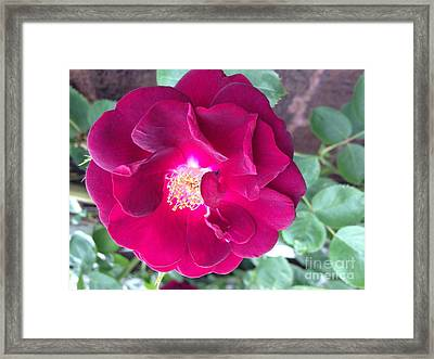 Rambling Rose Framed Print