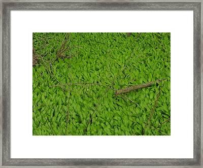 Ramsons  Framed Print