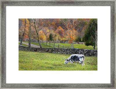 Randall Cattle Cow Framed Print by Bill Wakeley