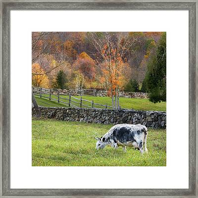 Randall Cattle Cow Square Framed Print
