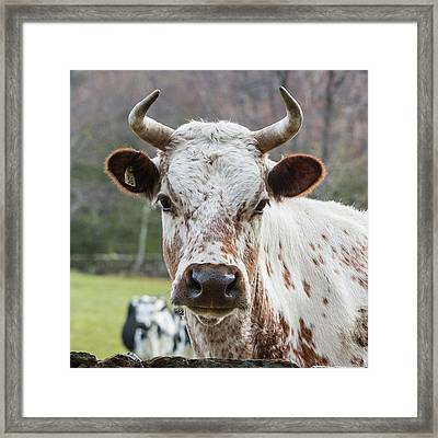 Randall Cow Framed Print by Bill Wakeley