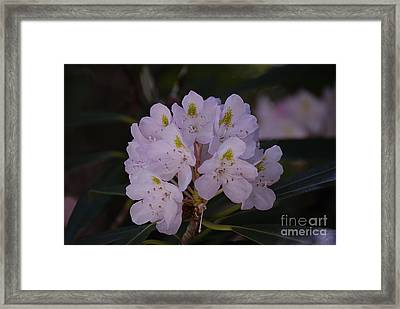 Randolph County Rhododendron Framed Print by Randy Bodkins