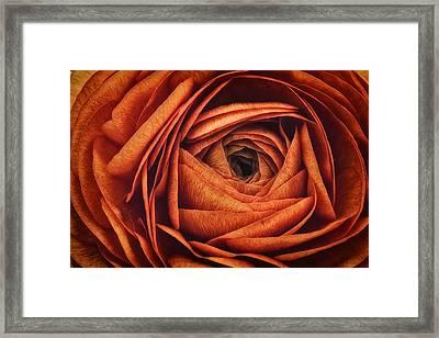 Ranonkel Oranje Framed Print
