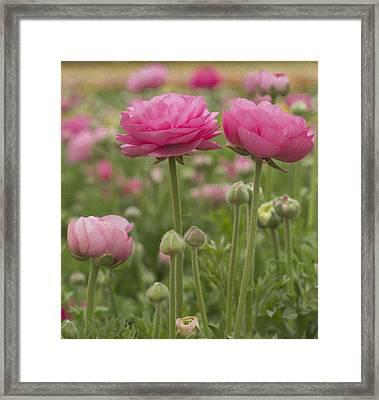 Ranunculus Flowers Framed Print