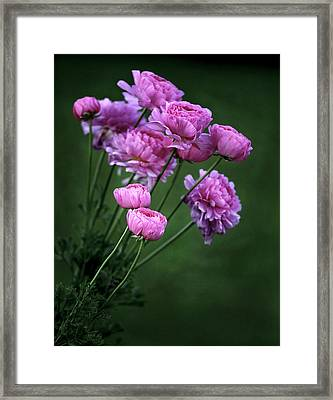 Ranunculus Framed Print by James Steele