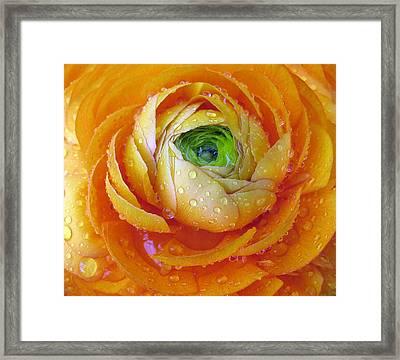 Ranunculus Framed Print by Jessica Jenney