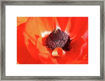 Ranunculus Red Framed Print