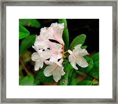 Framed Print featuring the photograph Rare Florida Beauty - Chapmans Rhododendron by Barbara Bowen