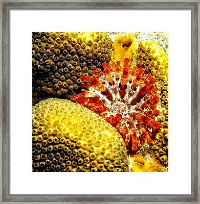 Rare Orange Tipped Corallimorph - Fire In The Sea Framed Print by Amy McDaniel