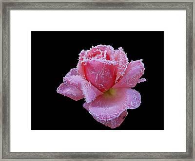 Rare Winter Rose Framed Print