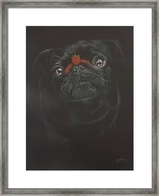Raspberry Pug Framed Print by Bernardo Castaneda