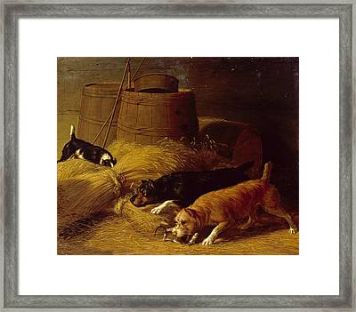 Rats Amongst The Barley Sheaves Framed Print by Thomas Hewes Hinckley