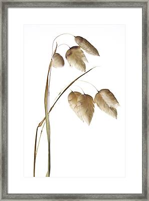 Rattlesnake Grass Number 1 Framed Print by Carol Leigh