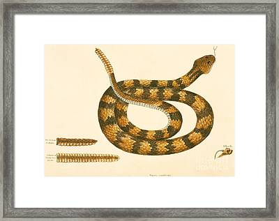 Rattlesnake Framed Print by Mark Catesby