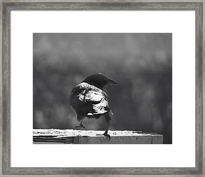 Framed Print featuring the photograph Raven In The Sun by Susan Capuano