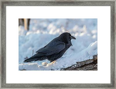Framed Print featuring the photograph Raven by Paul Freidlund