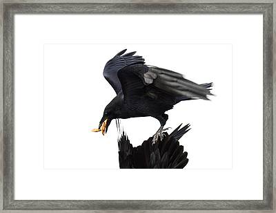 Framed Print featuring the photograph Ravens by Jane Melgaard