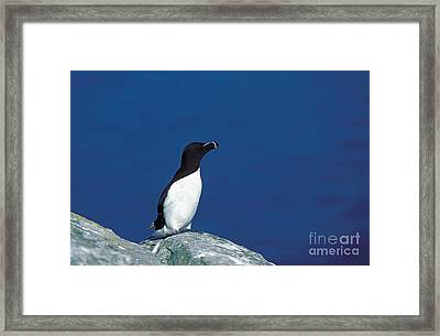 Razor-billed Auk Alca Torda Framed Print by Gerard Lacz