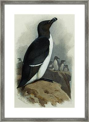 Razorbill Framed Print by Archibald Thorburn