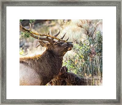 Framed Print featuring the photograph Ready For Rut by Yeates Photography