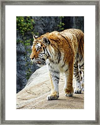Ready To Pounce Framed Print by Gordon Dean II
