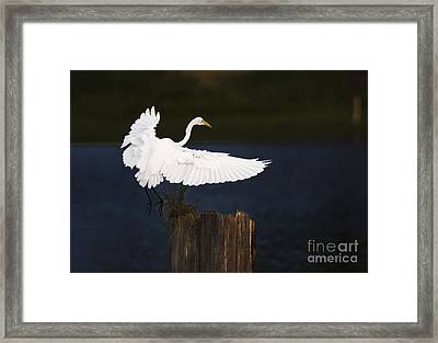 Ready To Roost Framed Print