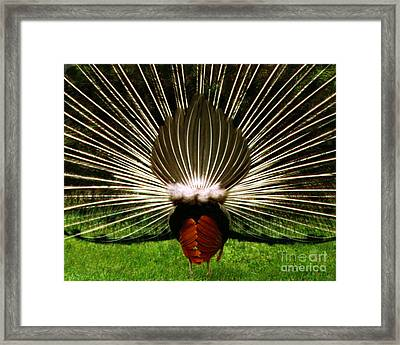 Rear End Of Peacock In Full Aray Framed Print by Merton Allen