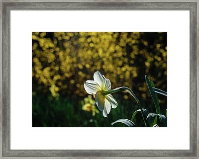 Rear View Daffodil Framed Print