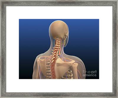 Rear View Of Human Body Showing Spinal Framed Print