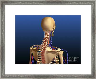Rear View Of Human Spine And Scapula Framed Print