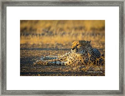 Reclining Cheetah Framed Print by Inge Johnsson
