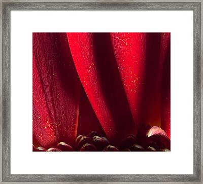 Golden Pollen Red Chrysanthemum Framed Print