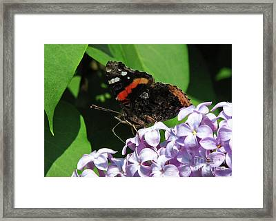 Red Admiral Butterfly Framed Print by Deborah Johnson